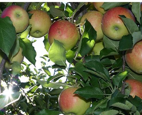 Cherry Picker Hire for Farmers